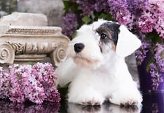 sealyham-terrier-puppy-on-background-260