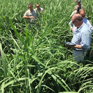 Scouting Sugar Cane