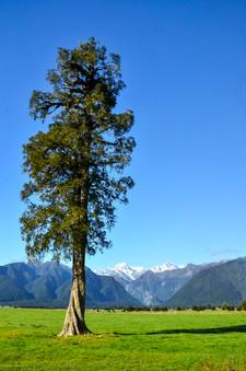 Mt. Cook Tree