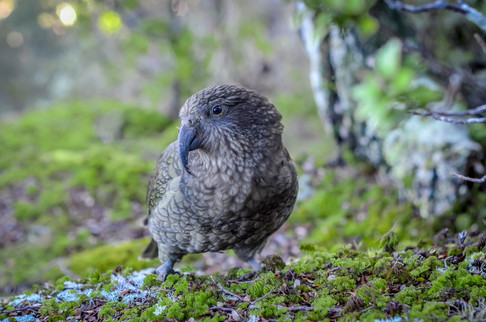 Kea in the Forest