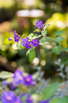 Purple Flowers in Monaco