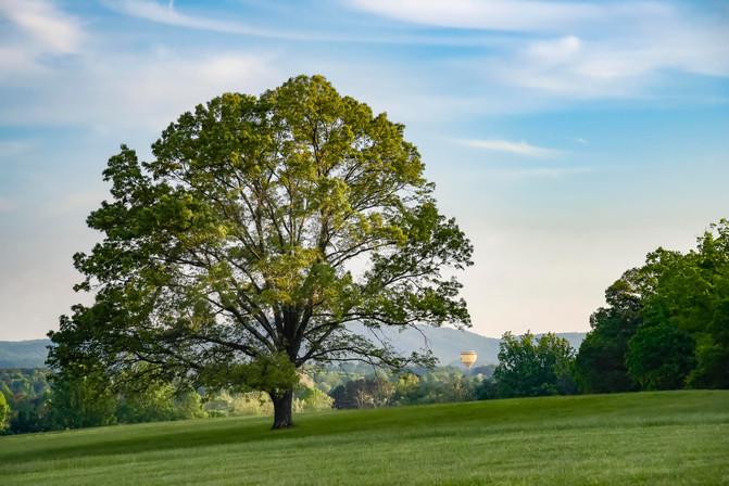 Albemarle Tree
