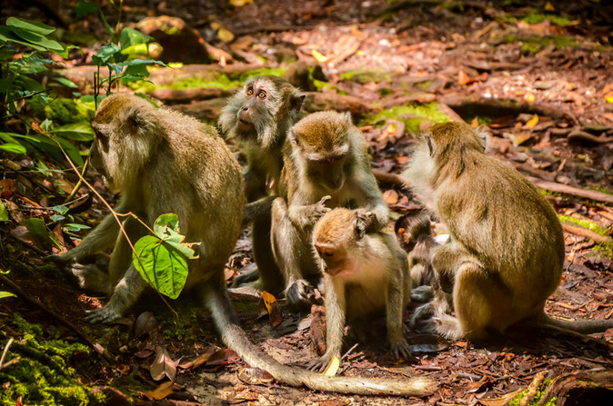 Crab Eating Macaques