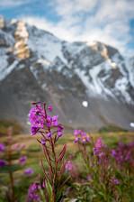 Alpine Morning Flowers