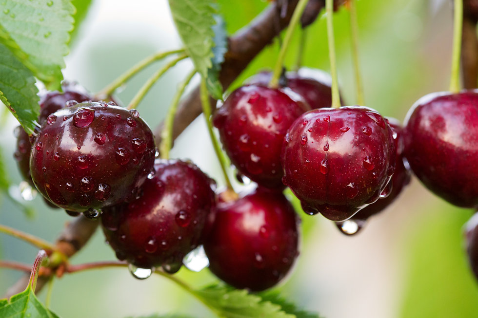 Big red cherries with water drops. Cherr