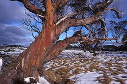 Snowgum Bogong High Plains