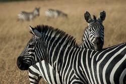 Zebra #1 Masai Mara