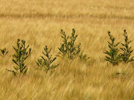 Hoida ohdake ajoissa - uudet tutkimustulokset juuririkkakasvien torjunnasta