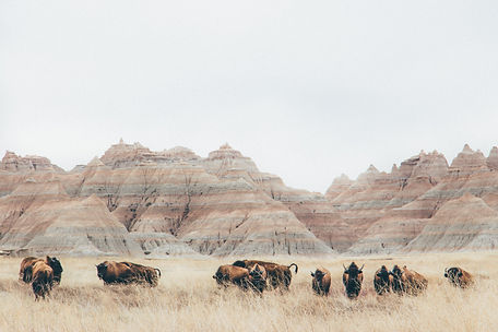 Bisons, Badlands National Park, South Dakota, USA