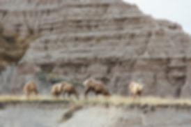 Bighorn sheeps, Badlands National Park, South Dakota, USA