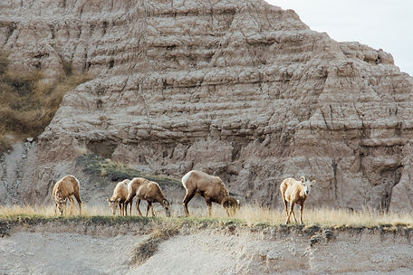 Bighorn sheeps, Badlands National Park, South Dakota, USA