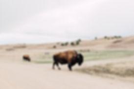 Bisons, Badlands National Park, South Dakota, USA