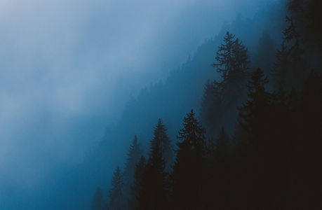 Fog in pine trees, French Alps