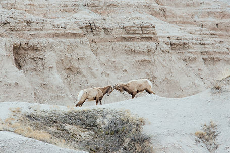 Bighorn sheeps fighting, Badlands National Park, South Dakota, USA