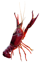 Crawfish-PNG-Clipart.png