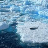 Sea lion on an ice floe