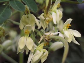 Amazing Health Benefits of Moringa Oleifera (Drumsticks)