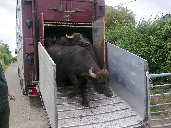 Merriman-Transport-Buffalo-Transport-1.jpg