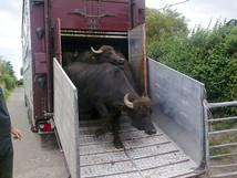 Merriman-Transport-Buffalo-Transport-1.jpg