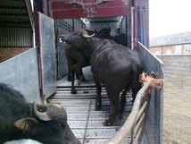 Merriman-Transport-Buffalo-Transport-2.jpg