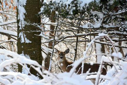 snow deer in woods.JPG
