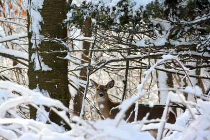 snow deer in woods.JPG