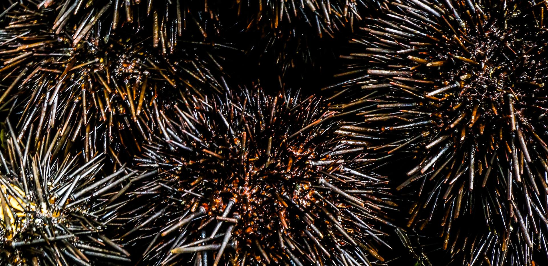 close up sea urchins.jpg