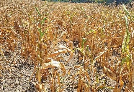 Produtores podem renegociar dívidas relativas a perdas pela seca