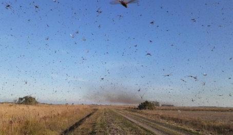 Secretaria de Agricultura do RS monitora nuvem de gafanhotos que avança pela Argentina