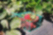 Саженцы клубники, земляники