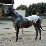 Valentino - Horse for Adoption