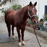 Lazer - Horse for Adoption