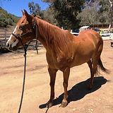 Rebel - Horse for Adoption
