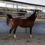Khnight Serenade - Horse for Adoption