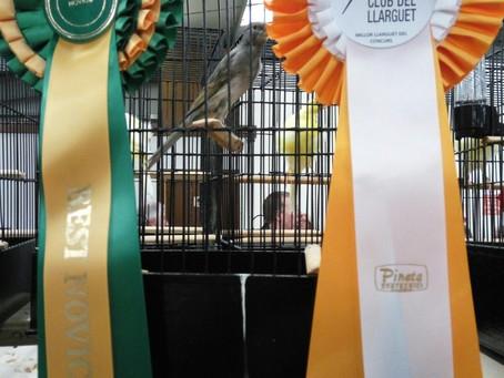 Ya tenemos los primeros campeones de Llarguet en The National Exhibition en Stafford (UK)