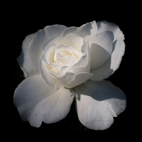 Closeup_Roses_Black_background_White_573