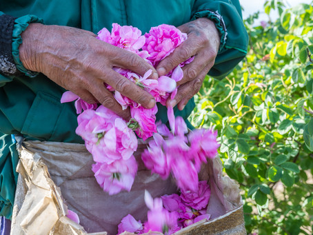 Know the Difference between Rose de Mai and Rosa Damascena