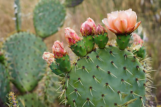 Close-up of one paddle of a prickly pear