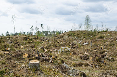 28253523-Stumps-at-a-clear-cut-forest-ar