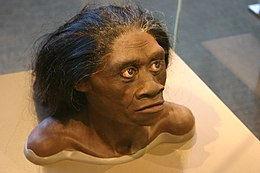 260px-Homo_floresiensis_bust.jpg