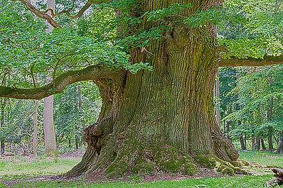 800-years-old-oak-tree-heiko-koehrer-wag