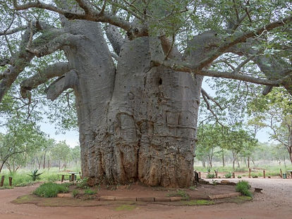 1000 year old tree in botswana.jpg