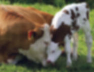 loving-mother-cow-and-calf1.jpg