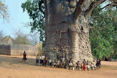 thousand year old tree 1.jpg