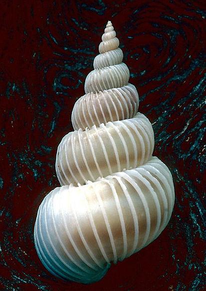 fractal seashell.jpg