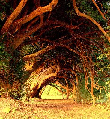 1000-year-old-trees-in-wales.jpg