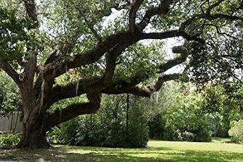 live oak 1.jpg