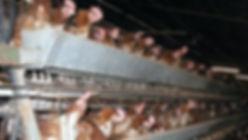 caged hens.jpg