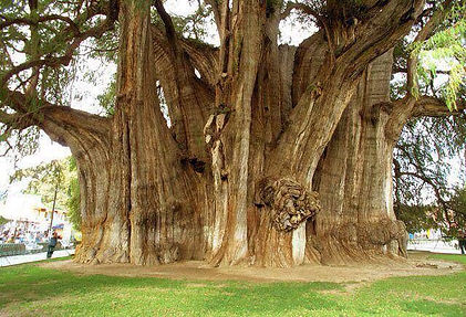 3000 year old tree in mexico.jpg