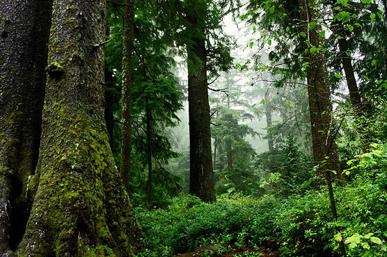 Old_growth_forest_scenic.jpg